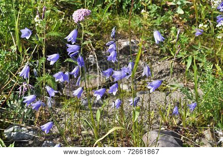 Wild Flower - Canterbury Bells (campanula).