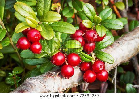 Berries Lingonberry (vaccinium Vitis-idaea), End Of August