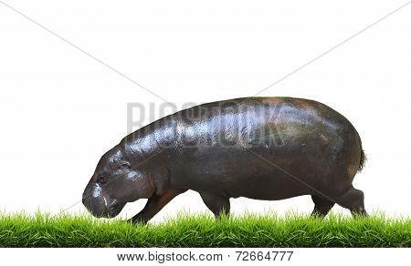 Pygmy Hippo With Green Grass Isolated