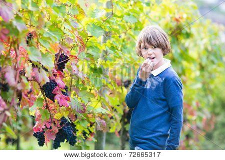 Teen Age Boy Walking In A Beautiful Autumn Vine Yard Eating Fresh Ripe Grapes