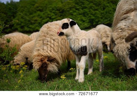 Young spotted lamb and sheep grazing on a green meadow, in Romanian countryside