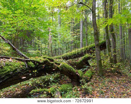 Old Oak Tree Broken Lying In Summertime Forest