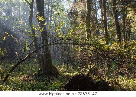 Sunbeam Entering Rich Deciduous Forest