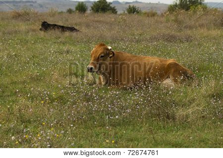 Red bull grazing in the meadow on summer day.