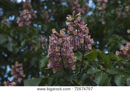 Horse-chestnut red flowers and leaf