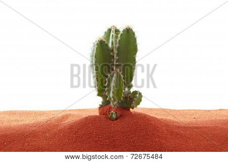 Cactus in red sand