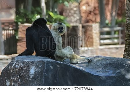 Two Gibbons Sitting On The Tree