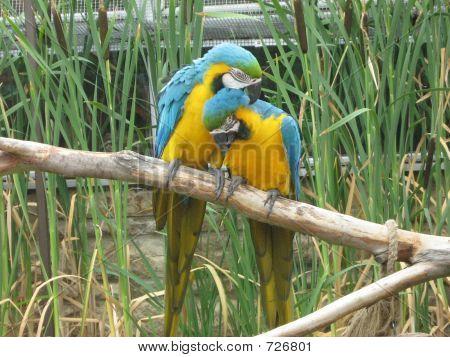 Love .Love Between Macaw