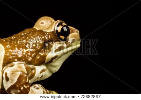 Mission Golden-eyed Tree Frog Or Amazon Milk Frog (trachycephalus Resinifictrix)