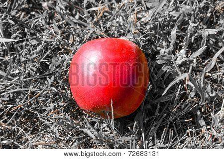 Lone Apples