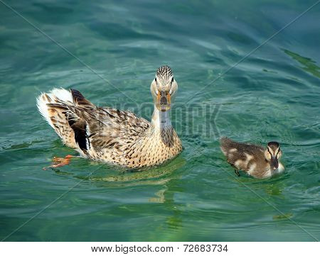 Mallard or wild duck female and baby, anas platyrhynchos