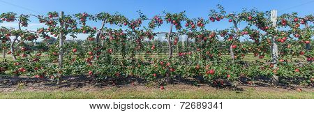 Panorama Of Apples On The Vine, Long Island, Ny