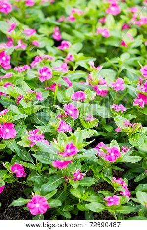 Pink Vinca Flower.