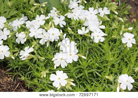 White phlox subulate bloom in the garden
