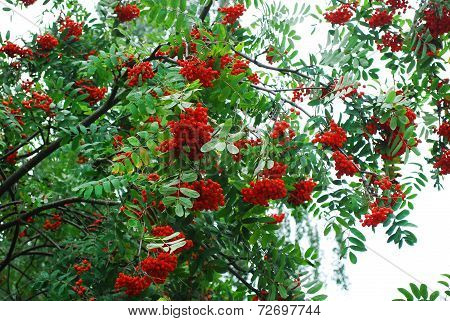 Branch Of A Rowan-tree With Ripe Berries