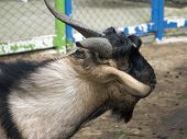 picture of billy goat  - Domestic goat  - JPG