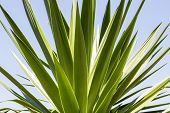 image of mezcal  - close up of an agave with blue sky - JPG