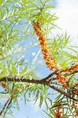 foto of sea-buckthorn  - Branch with berries of sea buckthorn and green leaves on a background of grass and sky - JPG