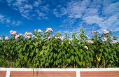 pic of ipomoea  - Ipomoea carnea or morning glory flower on tree against blue sky - JPG