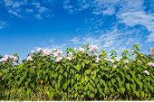 foto of ipomoea  - Ipomoea carnea or morning glory flower on tree against blue sky