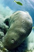 picture of sea cow  - dugong aka sea cow - JPG
