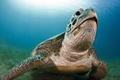 picture of green turtle  - green sea turtle resting on the bottom - JPG