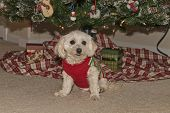 image of maltipoo  - Maltipoo Puppy Hanging Out Under The Christmas Tree
