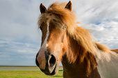 stock photo of iceland farm  - Icelandic horse head in closeup with beautiful sunset light - JPG