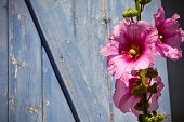 stock photo of hollyhock  - Beautiful pink hollyhock flower against blue wooden planks surface background - JPG