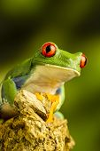 stock photo of red eye tree frog  - Red - JPG