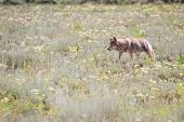 picture of coyote  - wild coyote hunting for breakfast in the prairie of the grand Teton national park in Wyoming - JPG