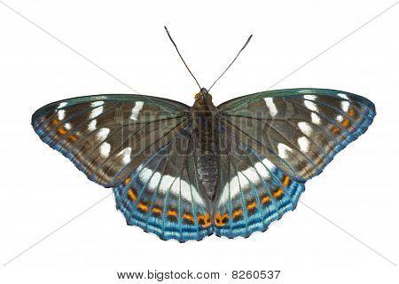 Butterfly (limenitis Populi Ussuriensis)