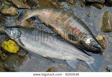Two Salmons