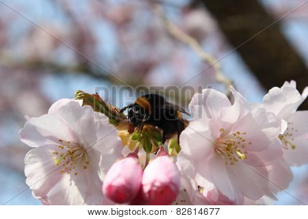 Bumblebee Sitting On A Pink Bloom Of A Tree