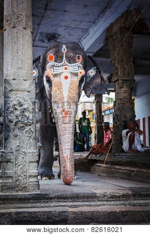 KANCHIPURAM, INDIA - SEPTMEBER 12, 2009: Elephant in Kailasanthar temple. Temple elephants are vital part of many temple ceremonies and festivals, particularly in South India