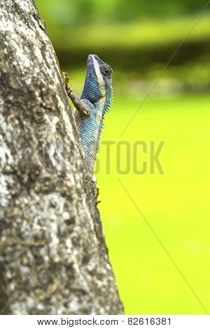 Closeup Of Changeable Lizard On Tree, Green Background
