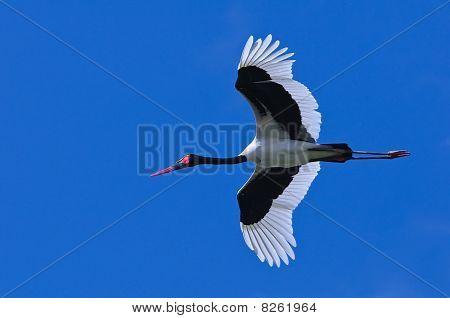 Silla de montar – billed Stork
