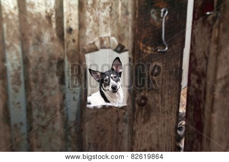 White And Black Dog Peeking Through Window In Gate