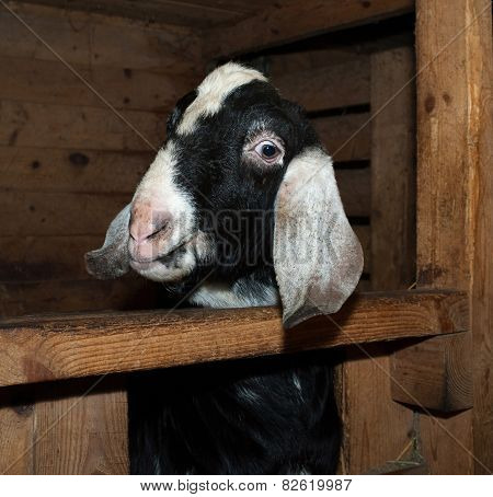 Nubian Goat In Barn
