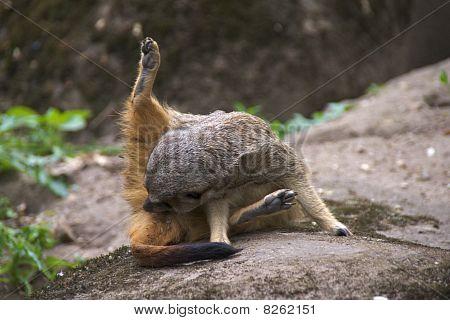 Meerkat grooming itself