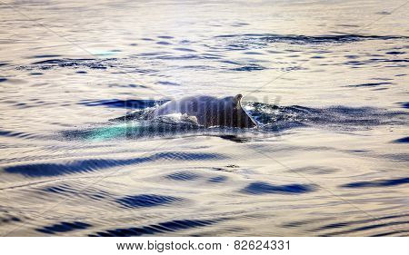 Humpback whale in the Skjalfandi Bay in Northern Iceland