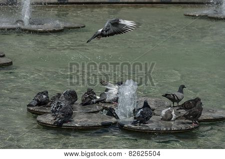 Variegated pigeon or dove bathe