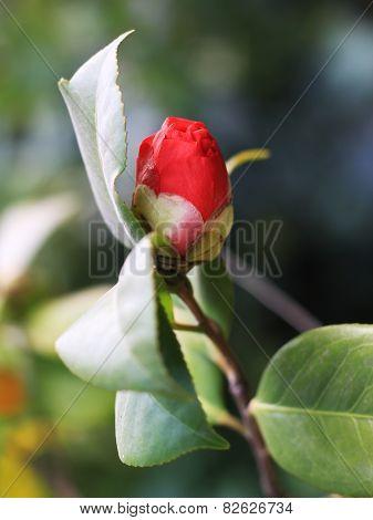 half blooming camellia