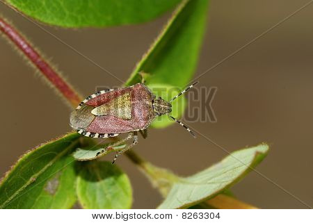 Sloe Bug , Dolycoris Baccarum