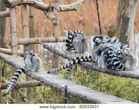 Group Of Lemurs