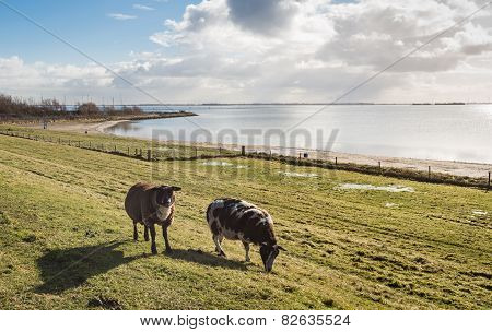 Sheep In Backlit On A Dike In Winter