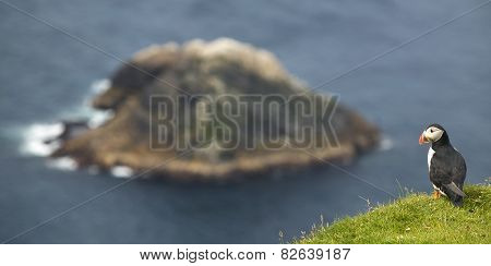 Puffin And Island Landscape In Shetland. Scotland. Uk