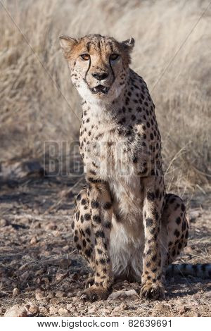 Sitting Cheetah