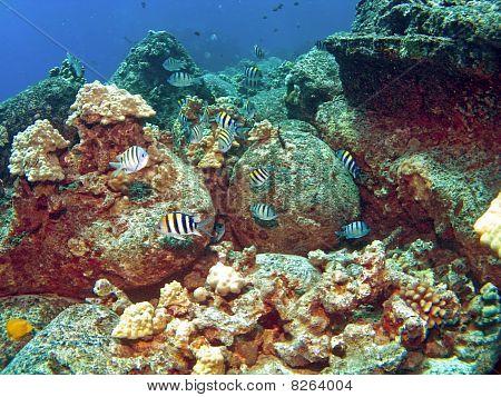 School Of Sergeant Major Fish On A Kona Reef