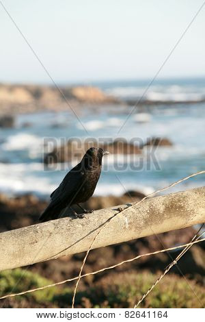 A Carrion Crow,